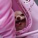 チワワ:Chihuahua_13