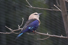 blue-bellied roller (1600 Squirrels) Tags: california usa bird fauna zoo photo lenstagged 1600squirrels eastbay sfbayarea nocal oaklandzoo xsi 3x2 coracias canon70300f456 450d cyanogaster oaklandflickrzoo