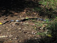 Red-bellied Black Snake (probably) - Lake Barrine (emblatame (Ron)) Tags: black rainforest reptile snake australia lakebarrine athertontablelands pseudechisporphyriacus redbelliedblacksnake