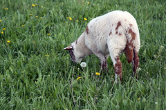 Spotted lamb grazing