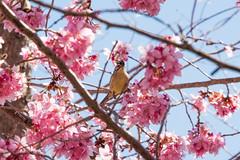 冠羽畫眉 (Hamster620) Tags: 台灣 taiwan 武陵農場 wulingfarm 花 flower 動物 animal 鳥 bird