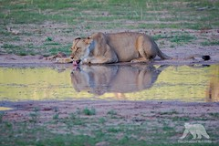 Drinking Lioness (fascinationwildlife) Tags: animal mammal lion lioness drinking wild wildlife nature natur national park kalahari kgalagadi desert south africa südafrika ktp summer safari african