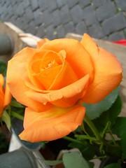 ROSA (cannuccia) Tags: flowers natura fiori paesaggi millefiori digitalcameraclub concordians elshowdelmacro mmmilikeit lovetheworldofnature