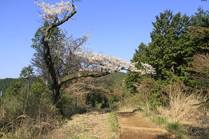 高尾山の桜