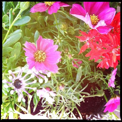 spider whites, graffiti double exotic geranium,