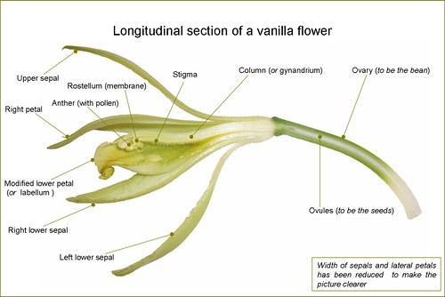 VanillaFlowerLongitudinalSection-en