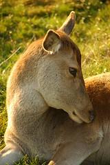 Autumn Red (Malkyson) Tags: doe mammals reddeer