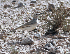 Greater Hoopoe-Lark on the run (Pia's birdseye view) Tags: alaemonalaudipes bglrka hrfgellrka kenlplrka greaterhoopoelark birdsofmorocco