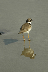Semipalmated Plover, Plum Island, MA (flyingibis) Tags: