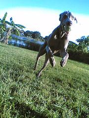 mukha playing (saikiishiki) Tags: dog playing silly love ball grey nokia backyard play sweet gray running weimaraner   weim greyghost mukha  weimie  waimarana saikiishiki