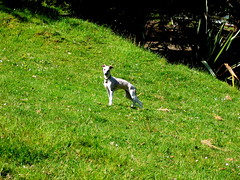 elegant (clerestories) Tags: puppy whippet marzipan pan