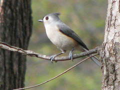 Mr Titmouse (Todds Photos) Tags: titmouse tufted