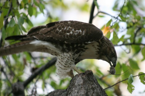 Red Tailed Hawk and Mouse Meal