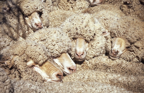 by australian sheep
