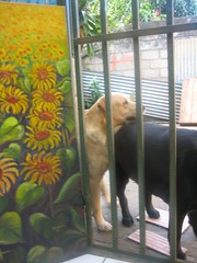 DONT bother ME OSO (IDIAY) Tags: dogs labrador brothers merrychristmas feliznavidad liveandletlive sunflowersoil