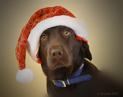 Santa's Little Helper (Roszita) Tags: christmas fab dog labrador tessa chocolatelabrador takeabow santaslittlehelper impressedbeauty flickrenvy diamondclassphotographer scarletrose77