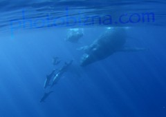 whales and spinner dolphins (santos42) Tags: dolphins whales humpback spinner