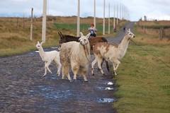Llamas at Urbina