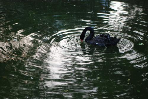 優美的黑天鵝