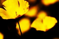 Solo Flower (sonialena) Tags: california flowers yellow nationalpark spring desert joshuatree bloom wildflowers blooms sonialena sonialenaphotography