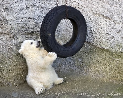 Unnamed polar baby playing with the tire again