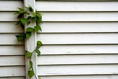 Lines and gutter vines (Blackcatatheart) Tags: lines leaf vine gutter