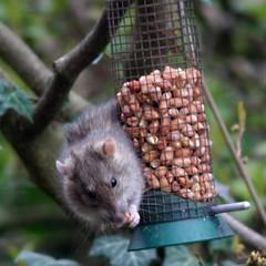 Success (Linda Cronin) Tags: wild animal nose eyes rat nuts whiskers stealing supershot abigfave lindacronin friendlychallenges