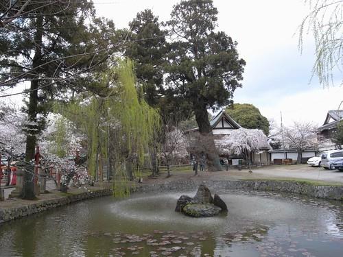 氷室神社(しだれ桜)-12