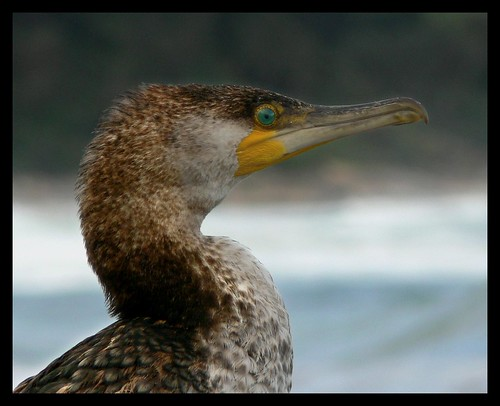"""Brown Pied Cormorant • <a style=""""font-size:0.8em;"""" href=""""http://www.flickr.com/photos/35408999@N00/2418795054/"""" target=""""_blank"""">View on Flickr</a>"""