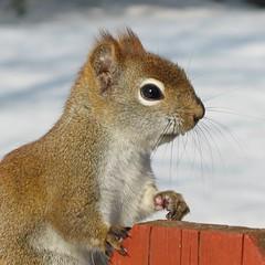 Tamiasciurus hudsonicus (portrait) (Gilles Gonthier) Tags: canada nature animal mammal rodent squirrel qubec rodentia redsquirrel mam