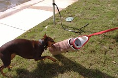 sleeve 014 (clovergecko1) Tags: doberman guinevere dobermann schutzhund bitesleeve bitework guineveredoberman