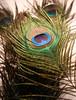 Rainbow feather (FotoShyam) Tags: colors rainbow feather peacock mayilpeeli fotoshyam