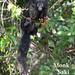 Monk Saki, Pithecia monachus