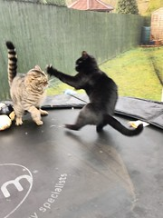 47/365 Cat Fight (princesspink 77) Tags: 365the2017edition 3652017 day47365 16feb17 cat fight trampoline birthday brothers playfight play