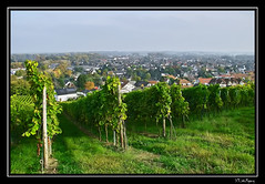 Mainz - Laubenheim I (x3.wolfgang) Tags: wine sigma vine grapes mainz wein weinberg trauben foveon weinreben sd14 vinegrapes