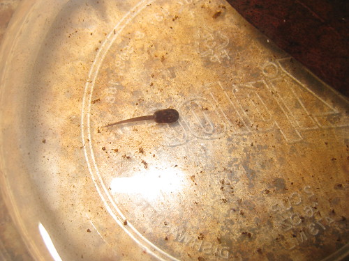 D. leucomelas young tadpole