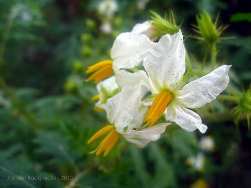 শেয়ালকাঁটা (Wild flower, thorns)