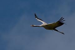 Adelr_20070915_153 (reneadelerhof) Tags: bird calling vogel kraanvogel