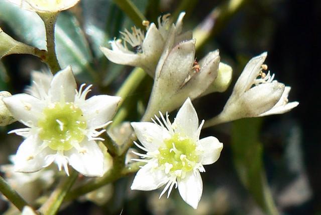 Ceratopetalum gummiferum - flowers