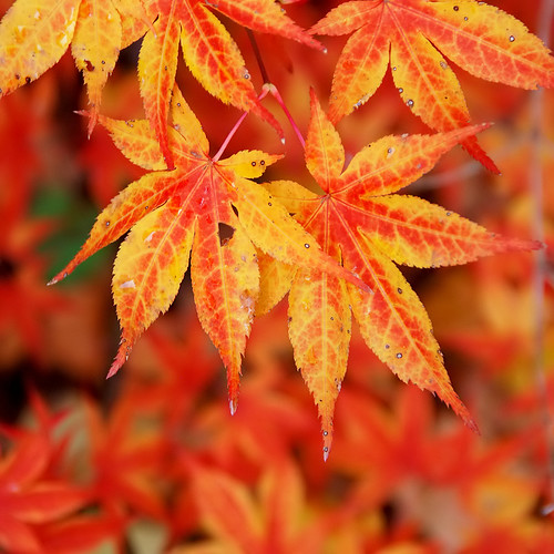 autumn fall boston japanese maple foliage anawesomeshot