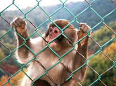Monkey see, monkey do.. (Simple pleazures) Tags: japan fence monkey kyoto arashiyama