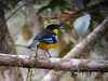 Blue-winged Mountain-Tanager (mlretter) Tags: nwecuador wvenezuela