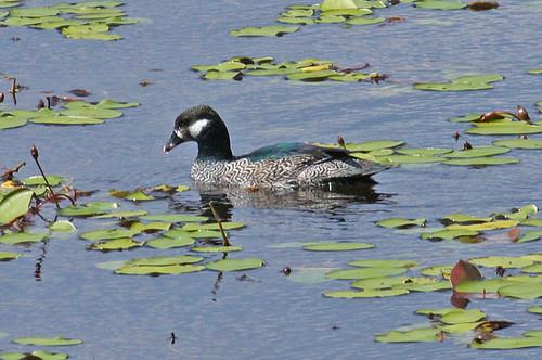 IMG_6479 Green Pygmy-goose (Nettapus pulchellus) Male by ajmatthehiddenhouse.