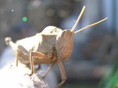 Tucura al SOL!!! (erjolp) Tags: insectos macro insect marron posando camuflado insecto antenas langosta tomandosol tucura soleandose