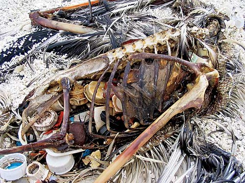 Überreste eines toten Albatross