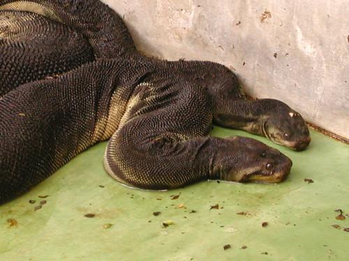 Elephant Trunk Snake