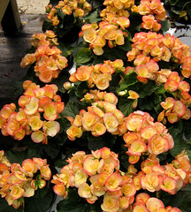 Salmon Begonias (deu49097) Tags: begonias