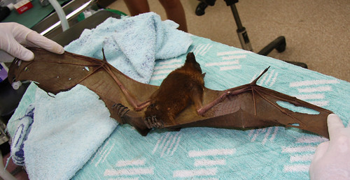 Failed rescue - little red flying-fox