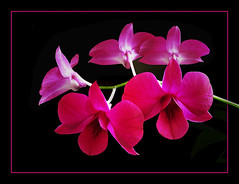 Pink - - - (rotraud_71 away again ~) Tags: pink orchid flower harmony dendrobium fpc flowerlovers onmywindowsill masterphotos platinumphoto anawesomeshot colorphotoaward diamondclassphotographer citrit envyofflickr brillanteyejewel platinumphotography betterthangood goldstaraward macroflowerlovers