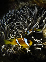 Anemone shadows (nostramar) Tags: red sea fish mar rojo nemo clown redsea dive anemone buceo marrojo pallaso nostramar